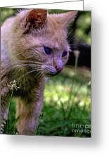 Skippy Feral Cat Portrait 0369b Greeting Card