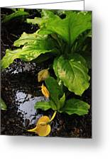 Skunk Cabbage Beauty Greeting Card