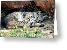 Sleeping Bobcat Greeting Card