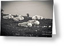 Sleeping Cygnets Greeting Card