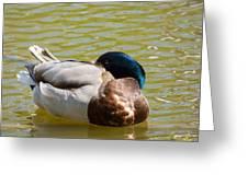 Sleeping Duck On Pond Greeting Card