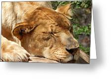 Sleeping Lioness  Greeting Card