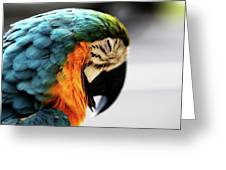 Sleeping Macaw Greeting Card