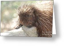 Sleeping Porcupine On A Fallen Branch Greeting Card