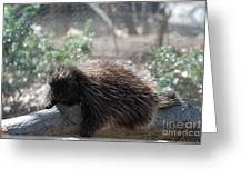 Sleeping Porcupine With Lots Of Quills Greeting Card
