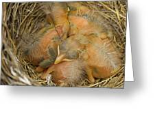 Sleeping Robins Greeting Card