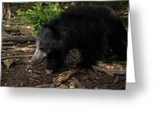 Sloth Bears Melursus Ursinusat Greeting Card