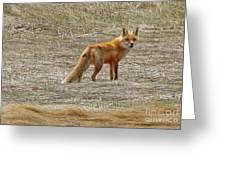 Sly Fox 5785 Greeting Card