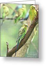 Small Budgie Birds With Beautiful Colored Feathers Greeting Card