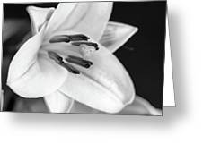 Small Lily-2 Bw Greeting Card