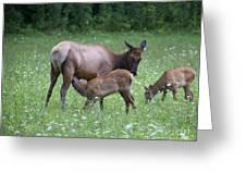 Smoky Mountain National Park Elk Cow Nursing Calf Greeting Card
