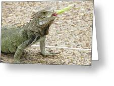 Snacking Iguana On A Concrete Walk Way Greeting Card