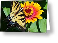 Snacking Tiger Swallowtail Butterfly Greeting Card