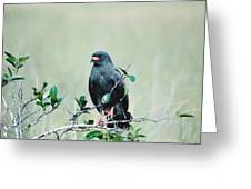 Snail Kite Greeting Card