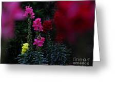 Snapdragon Greeting Card