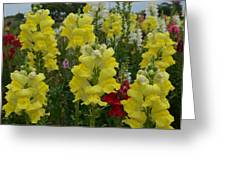 Snapdragons Flowers 3 Greeting Card