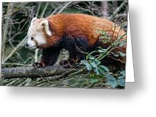 Sneaky Red Panda Greeting Card