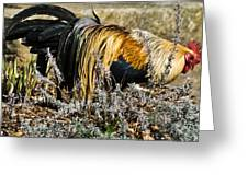 Sneeking Rooster Greeting Card