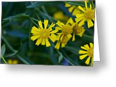 Sneezeweed Greeting Card
