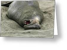 Snoring Elephant Seal Greeting Card
