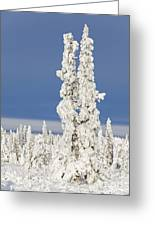Snow Covered Spruce Trees Greeting Card