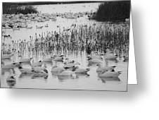 Snow Geese Greeting Card