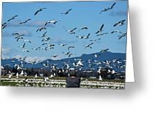 Snow Geese Rising Greeting Card