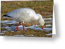 Snow Goose Feeding In A Field Greeting Card