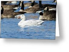 Snow Goose Greeting Card