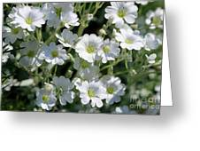 Snow In Summer Flowers Greeting Card
