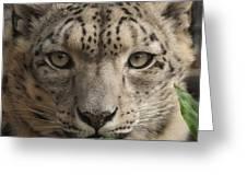Snow Leopard 13 Greeting Card
