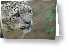 Snow Leopard 8 Greeting Card