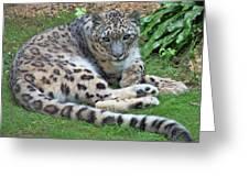Snow Leopard, Doue-la-fontaine Zoo, Loire, France Greeting Card