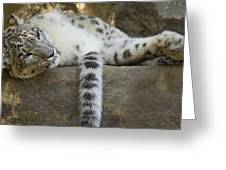 Snow Leopard Nap Greeting Card