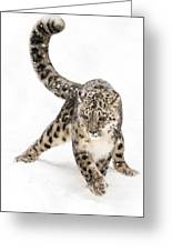 Snow Leopard On The Prowl Viii Greeting Card