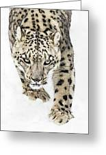 Snow Leopard On The Prowl X Greeting Card