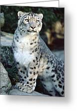 Snow Leopard Uncia Uncia Portrait Greeting Card