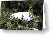Snow On Cedar Tree Greeting Card