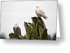 Snow Owls Of Boundary Bay Greeting Card