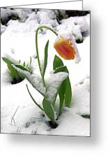 Snow Tulip Greeting Card