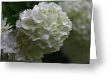 Snowball Bush Greeting Card