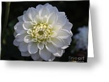 Snowball Dahlia  2 Greeting Card