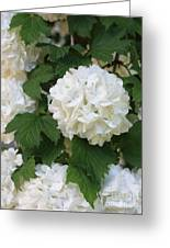Snowball Tree With Delicate Leaves Greeting Card