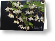 Snowbell Tree Greeting Card