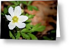 Snowdrop Anemone Greeting Card