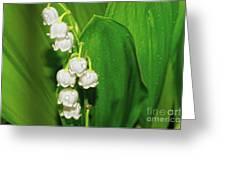 May-lily Greeting Card