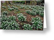 Snowdrops In Spring Woodland Greeting Card