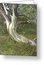 Snowgum Maiden Greeting Card