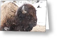 Snowy Bison Greeting Card
