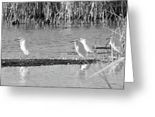 Snowy Egret - 1 Greeting Card